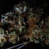 What is a marijuana clone?