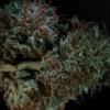 How Much Should Your Marijuana Crop Yield?